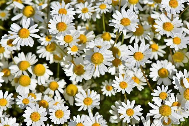 Daisies Marguerite Meadow Pointed · Free photo on Pixabay (66575)