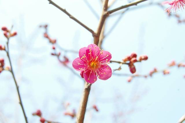 Red Plum Spring Flowers · Free photo on Pixabay (68881)
