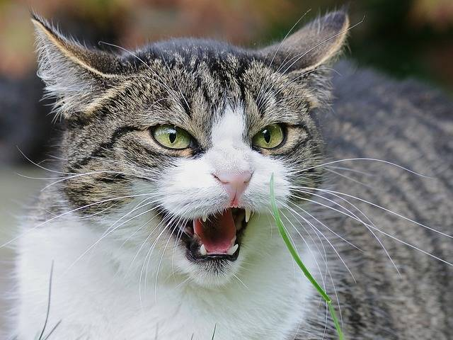 Cat Feuler Angry · Free photo on Pixabay (70002)