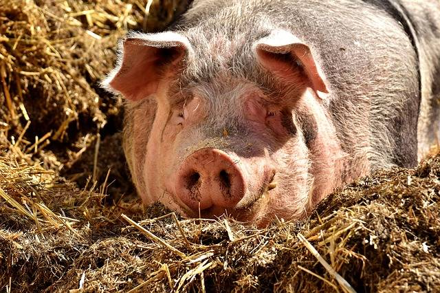 Pig Lying Sun Farm · Free photo on Pixabay (75864)