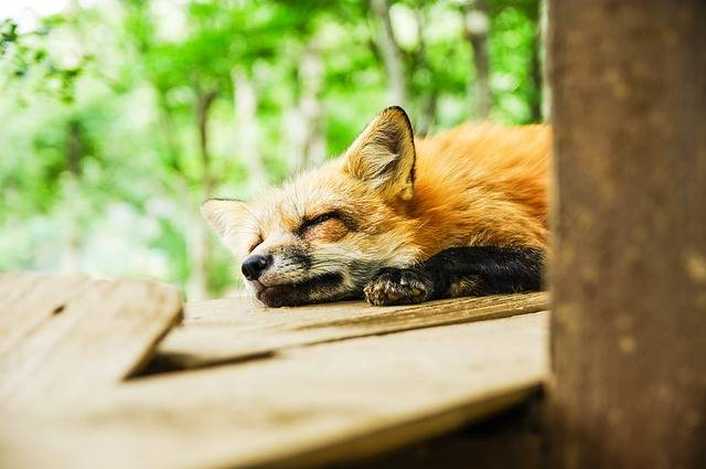Animal Fox Sleep - Free photo on Pixabay (79813)