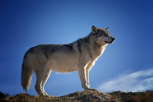 Wolf Predator Wildlife - Free photo on Pixabay (81363)