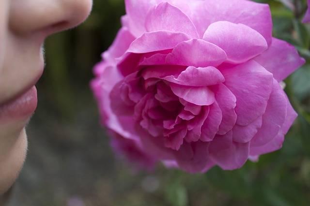 Rose Nose Smell - Free photo on Pixabay (84206)