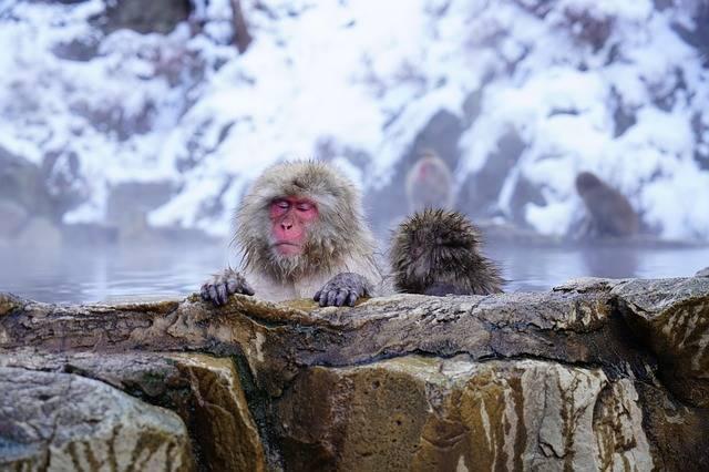 Nagano Monkey Onsen - Free photo on Pixabay (89808)