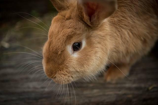 Animal Bunny Close-Up - Free photo on Pixabay (117165)