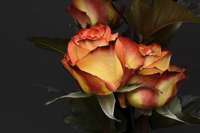 Rose Flower Petal - Free photo on Pixabay (120854)