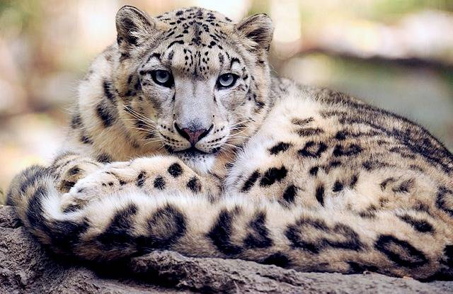Snow Leopard Reclining Staring - Free photo on Pixabay (120912)