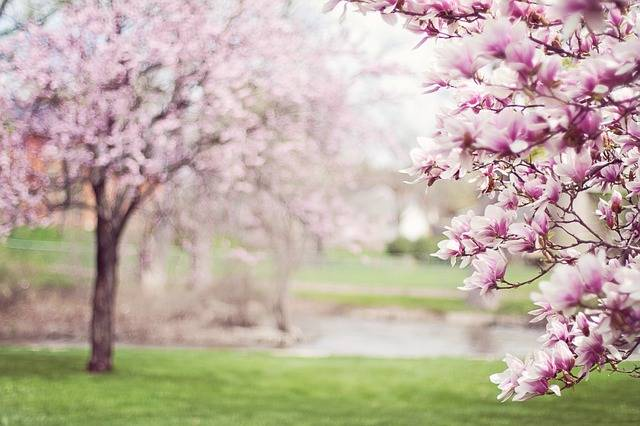 Magnolia Trees Springtime Blossoms - Free photo on Pixabay (120918)