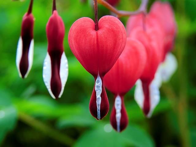Blossom Bloom Bleeding Heart - Free photo on Pixabay (133595)