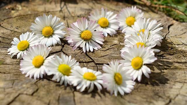 Daisy Heart Flowers Flower - Free photo on Pixabay (136262)