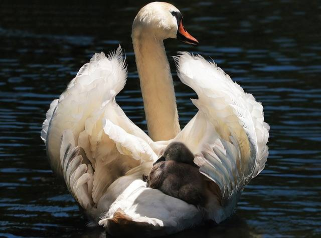Swan Baby White - Free photo on Pixabay (139898)