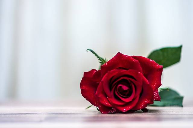 Rose Flower Romantic - Free photo on Pixabay (141491)