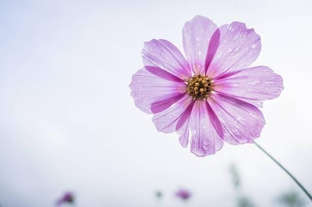 Cosmos Flower Garden - Free photo on Pixabay (149544)