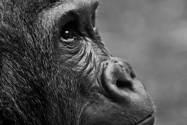 Gorilla Monkey Animal - Free photo on Pixabay (154603)