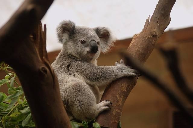 Koala Mammals Wildlife - Free photo on Pixabay (156975)