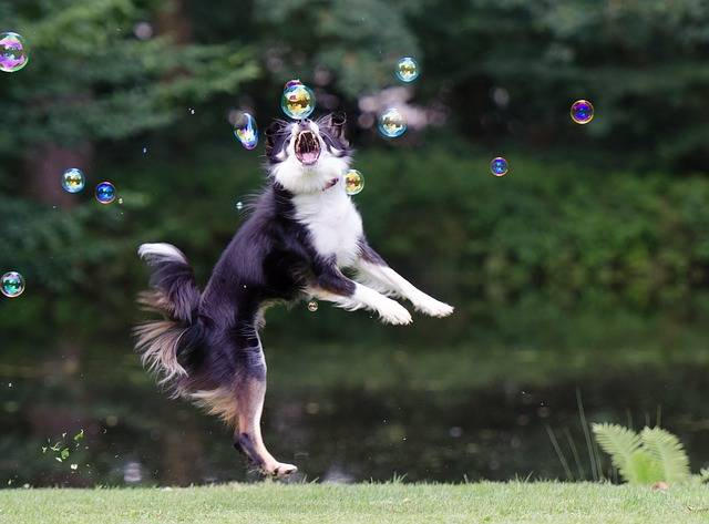 Soap Bubbles Border Collie Dog - Free photo on Pixabay (157186)
