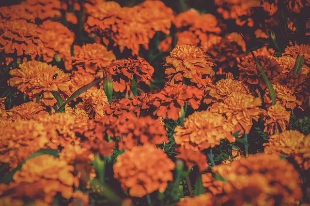Marigold Bloom Nature - Free photo on Pixabay (158433)
