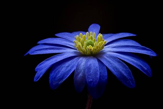 Anemone Flower Blossom - Free photo on Pixabay (159054)