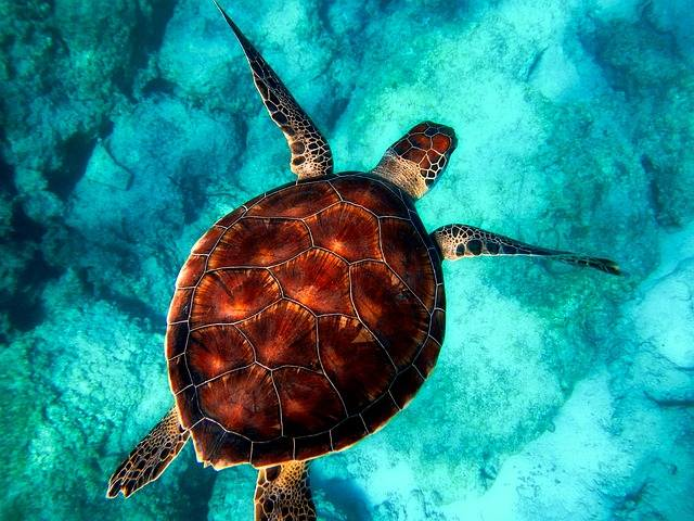 Sea Turtle Diving - Free photo on Pixabay (160979)