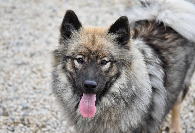 Dog Eurasier Female - Free photo on Pixabay (161408)