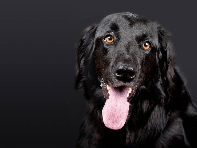 Dog Pet Hovawart - Free photo on Pixabay (164534)