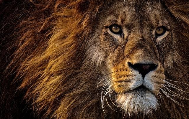Lion Predator Dangerous - Free photo on Pixabay (165717)