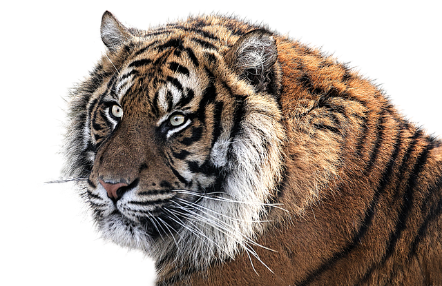 Tiger Head Animal - Free photo on Pixabay (165874)