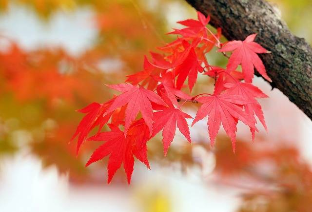 Red Leaves Maple - Free photo on Pixabay (166308)