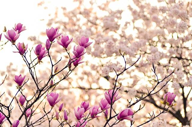 Magnolia Branches Blossom - Free photo on Pixabay (167210)