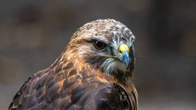 Buzzard Predator Bird - Free photo on Pixabay (168925)