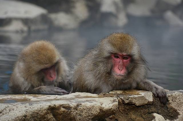 Animal Monkey Baby Japanese - Free photo on Pixabay (168951)