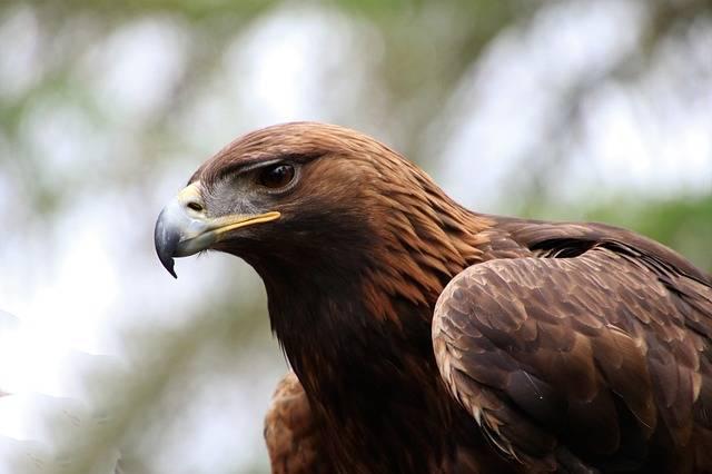 Golden Eagle - Free photo on Pixabay (170241)
