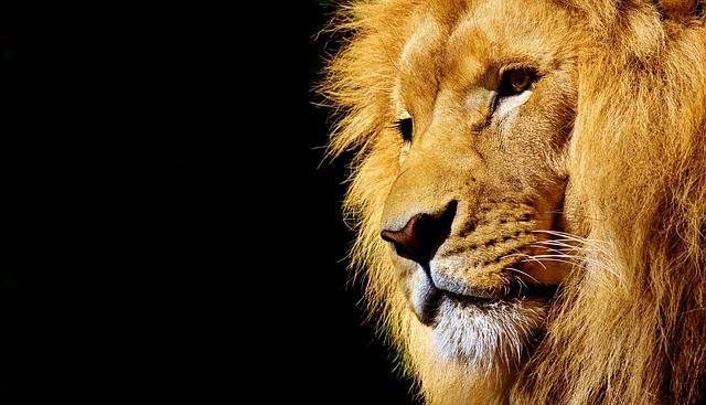 Lion Wild Animal Dangerous - Free photo on Pixabay (175410)