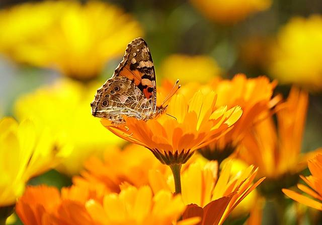 Butterfly Yellow Insect - Free photo on Pixabay (175714)