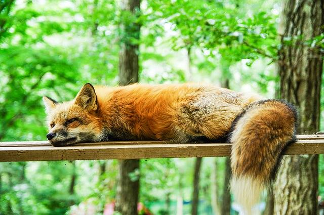 Animal Fox Cute - Free photo on Pixabay (176445)