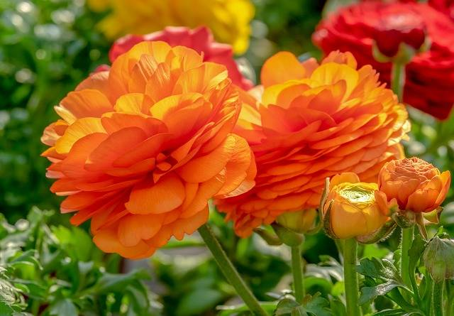 Ranunculus Flower Blossom - Free photo on Pixabay (176809)