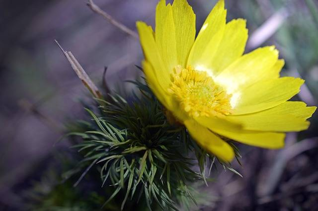 Pheasant'S Eye Adonis Vernal - Free photo on Pixabay (176843)