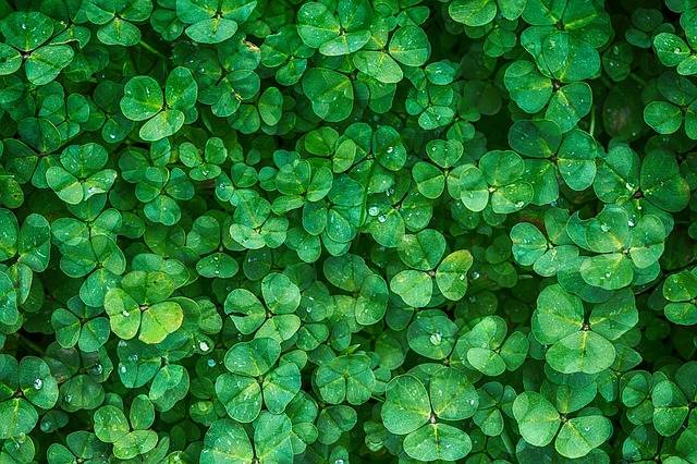 Clover Plant Green - Free photo on Pixabay (177045)