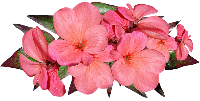 Geranium Pink Flowers - Free photo on Pixabay (177056)