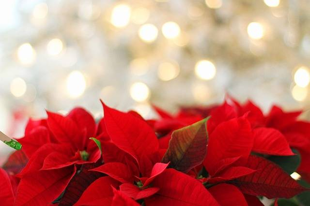 Poinsettia Christmas - Free photo on Pixabay (177087)