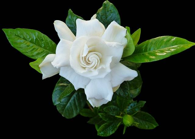 Gardenia Flower Fragrant - Free photo on Pixabay (177105)