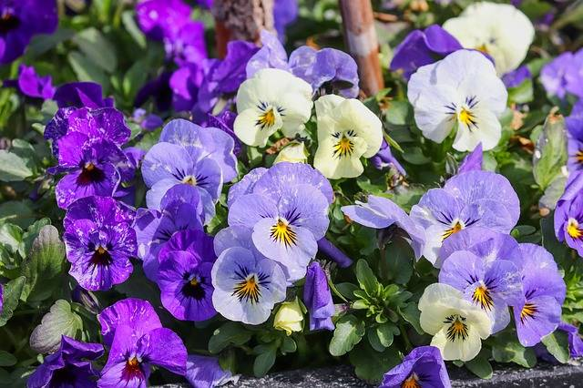 Pansy 400–500 Viola Violet - Free photo on Pixabay (177107)