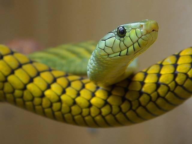 Snake Green Toxic Close - Free photo on Pixabay (177469)