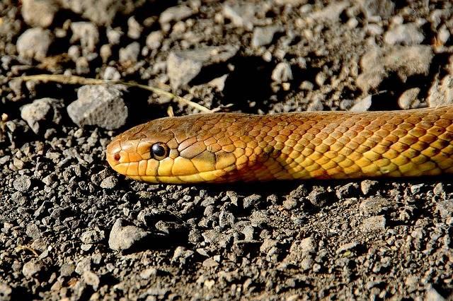 Snake Animals Reptile Non - Free photo on Pixabay (177490)