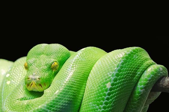 Green Tree Python - Free photo on Pixabay (177493)