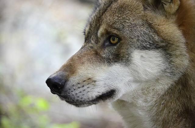 Wolf Head Predator - Free photo on Pixabay (177550)
