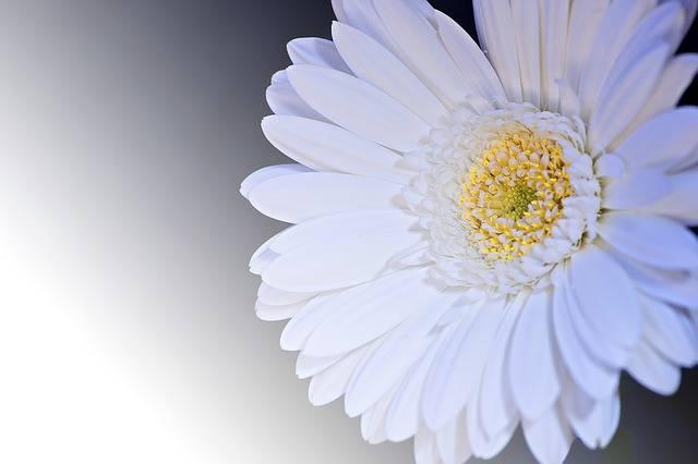 Gerbera Flower Blossom - Free photo on Pixabay (177794)