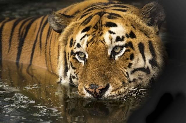 Tiger Wildlife Eyes - Free photo on Pixabay (178022)