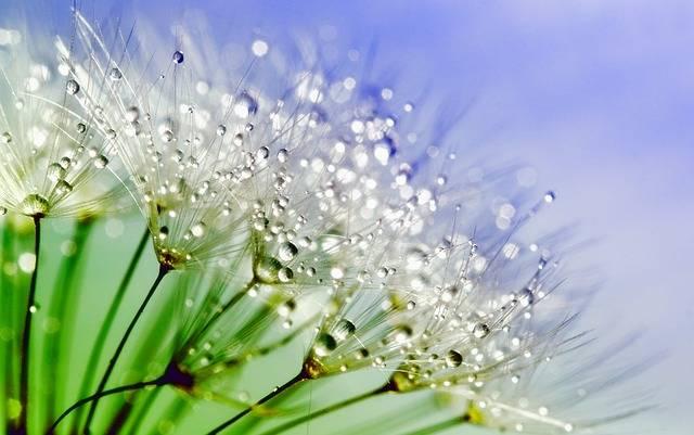 Dandelion Dew Nature - Free photo on Pixabay (178929)