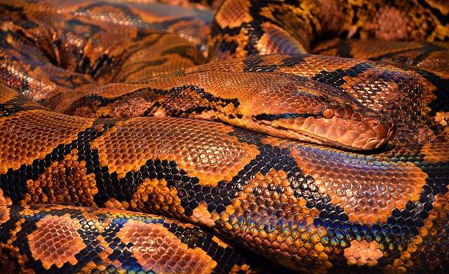 Snake Python Reptile - Free photo on Pixabay (179376)